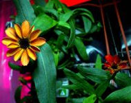 Profusion Zinnia a space pioneer